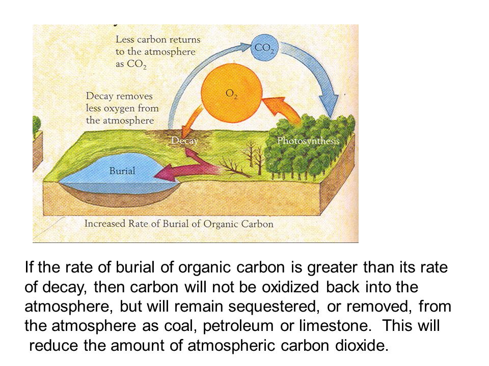 If the rate of burial of organic carbon is greater than its rate of decay, then carbon will not be oxidized back into the atmosphere, but will remain sequestered, or removed, from the atmosphere as coal, petroleum or limestone.