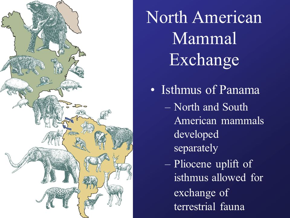 North American Mammal Exchange Isthmus of Panama –North and South American mammals developed separately –Pliocene uplift of isthmus allowed for exchange of terrestrial fauna