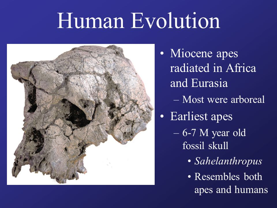 Human Evolution Miocene apes radiated in Africa and Eurasia –Most were arboreal Earliest apes –6-7 M year old fossil skull Sahelanthropus Resembles bo