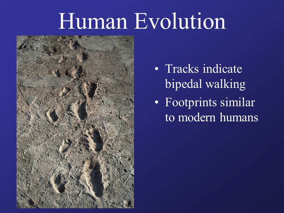 Human Evolution Tracks indicate bipedal walking Footprints similar to modern humans