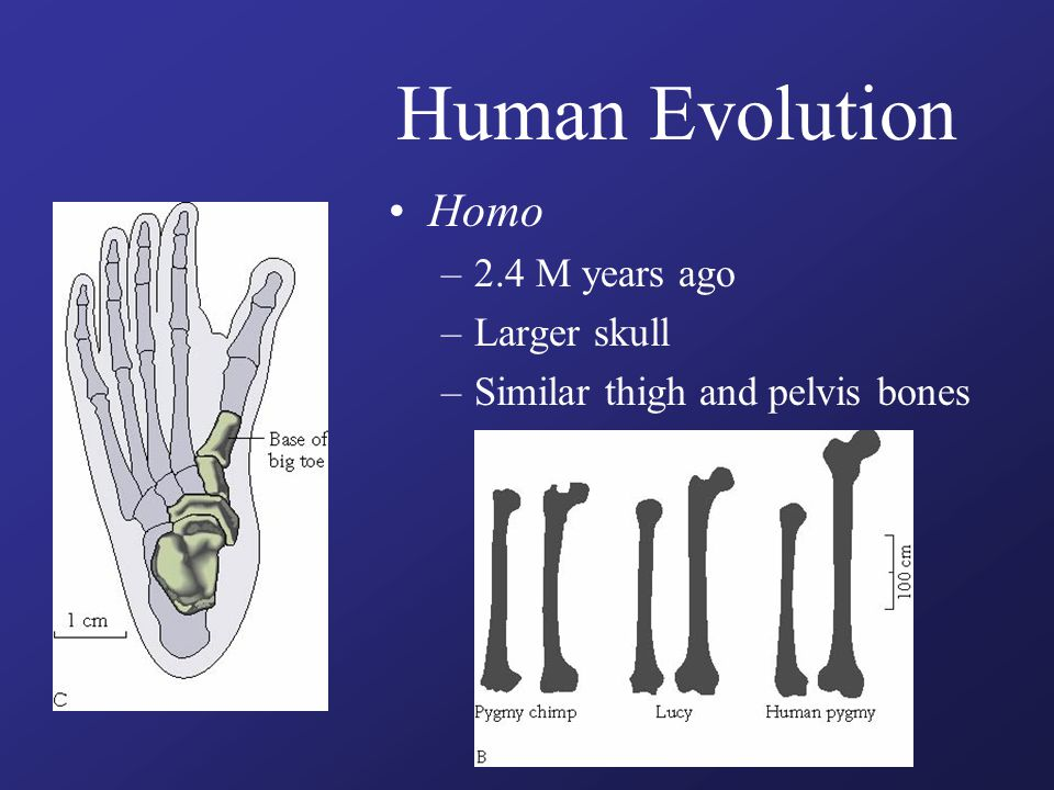 Human Evolution Homo –2.4 M years ago –Larger skull –Similar thigh and pelvis bones