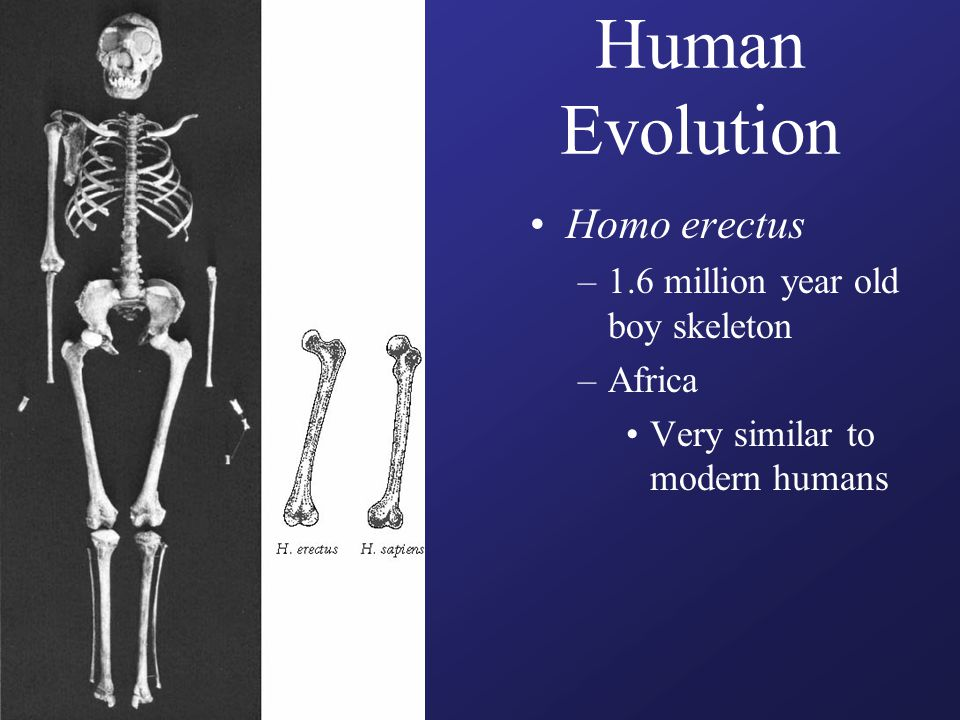 Human Evolution Homo erectus –1.6 million year old boy skeleton –Africa Very similar to modern humans