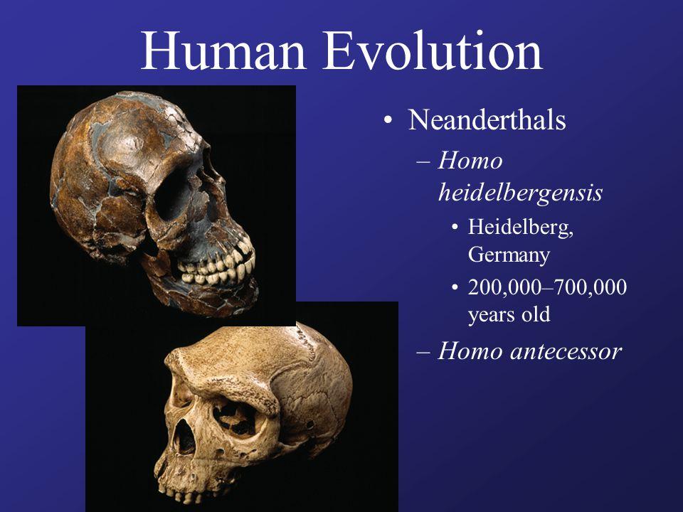 Human Evolution Neanderthals –Homo heidelbergensis Heidelberg, Germany 200,000–700,000 years old –Homo antecessor