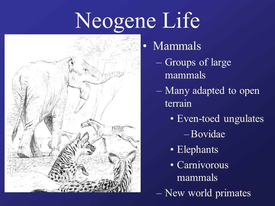 Neogene Life Mammals –Groups of large mammals –Many adapted to open terrain Even-toed ungulates –Bovidae Elephants Carnivorous mammals –New world prim