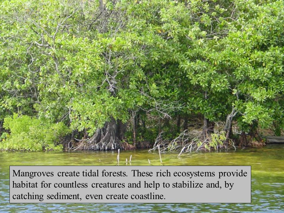Mangroves create tidal forests.