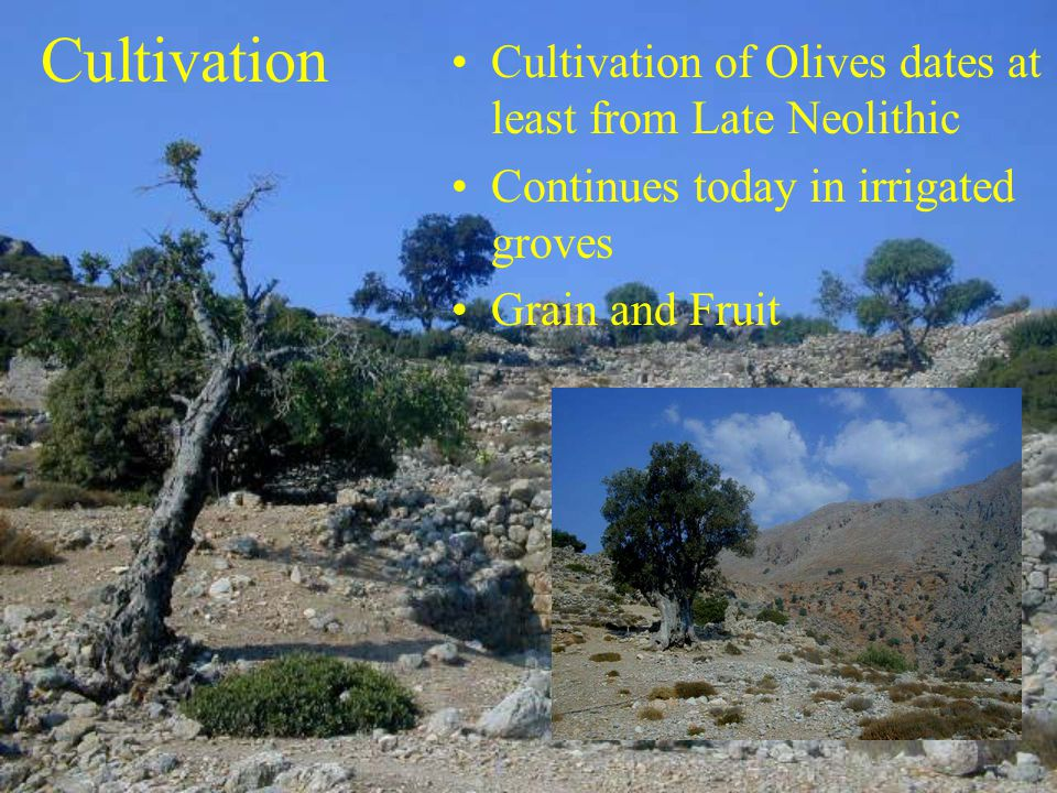 Cultivation Cultivation of Olives dates at least from Late Neolithic Continues today in irrigated groves Grain and Fruit