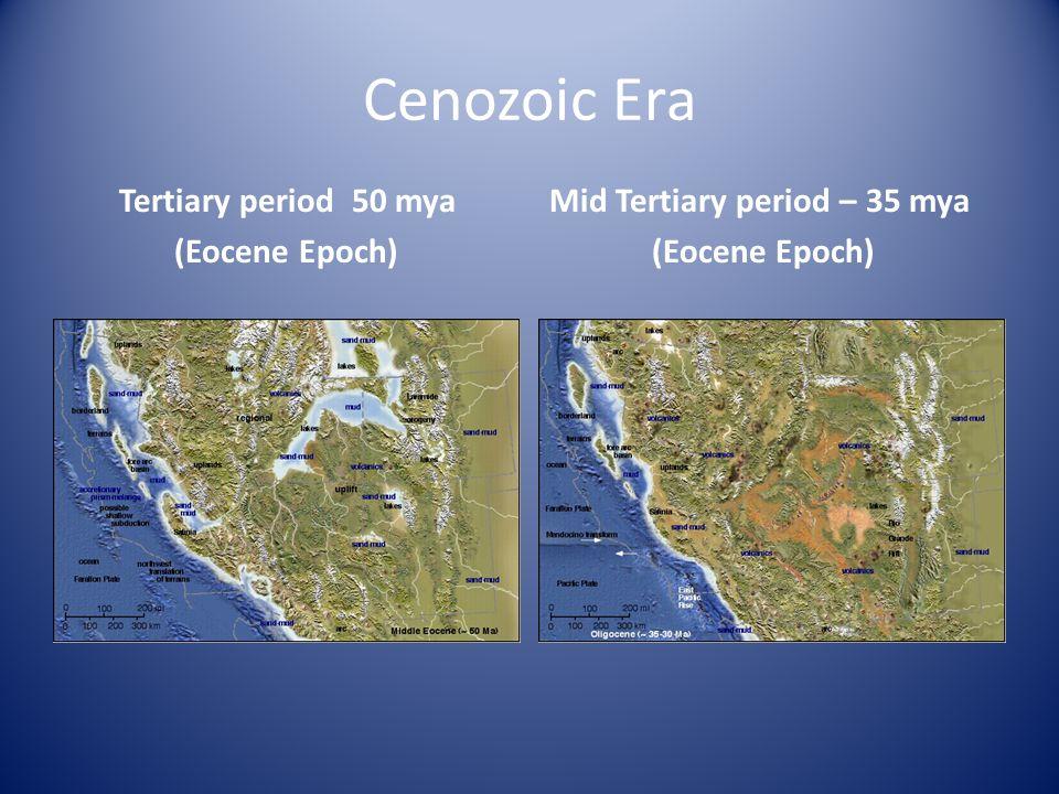Cenozoic Era Mid Tertiary period – 35 mya (Eocene Epoch) Tertiary period 50 mya (Eocene Epoch)