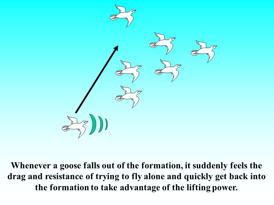 When the lead goose gets tired, it rotates back into formation and another goose flies at the point position