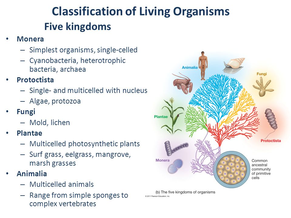 Classification of Living Organisms Five kingdoms Monera – Simplest organisms, single-celled – Cyanobacteria, heterotrophic bacteria, archaea Protoctista – Single- and multicelled with nucleus – Algae, protozoa Fungi – Mold, lichen Plantae – Multicelled photosynthetic plants – Surf grass, eelgrass, mangrove, marsh grasses Animalia – Multicelled animals – Range from simple sponges to complex vertebrates