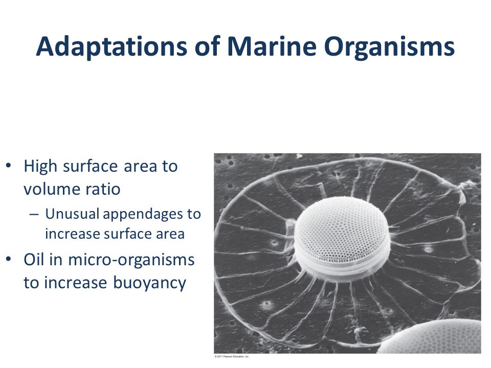 Adaptations of Marine Organisms High surface area to volume ratio – Unusual appendages to increase surface area Oil in micro-organisms to increase buoyancy
