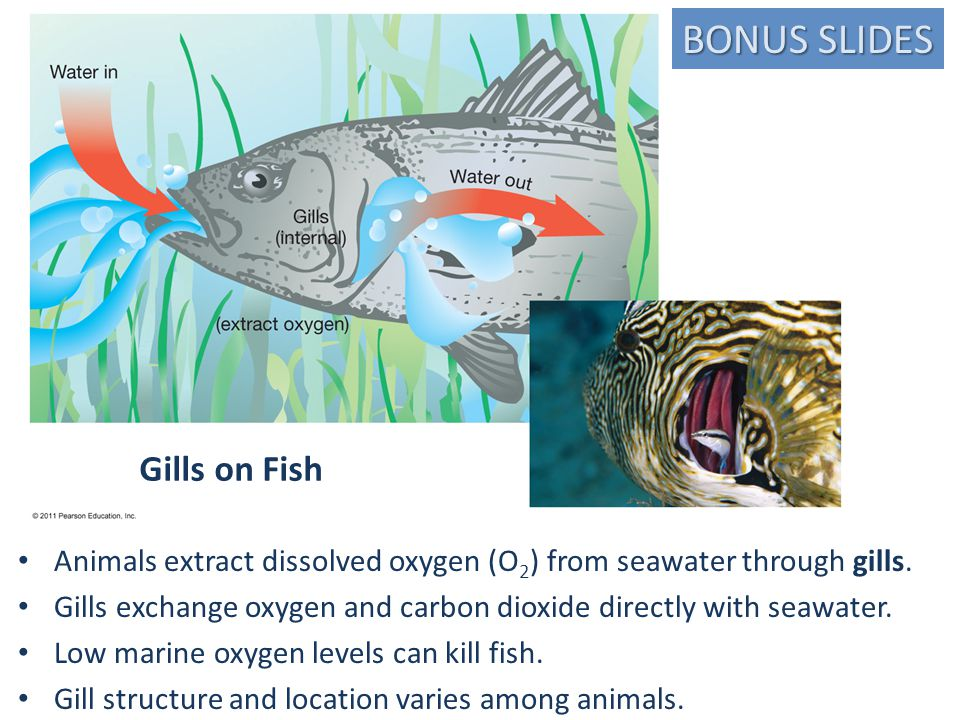 Gills on Fish Animals extract dissolved oxygen (O 2 ) from seawater through gills.