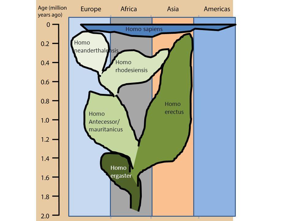 Homo erectus Homo Antecessor/ mauritanicus Homo rhodesiensis Homo neanderthalensis Homo ergaster Homo sapiens