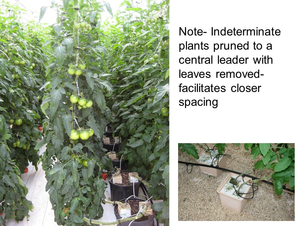 Note- Indeterminate plants pruned to a central leader with leaves removed- facilitates closer spacing