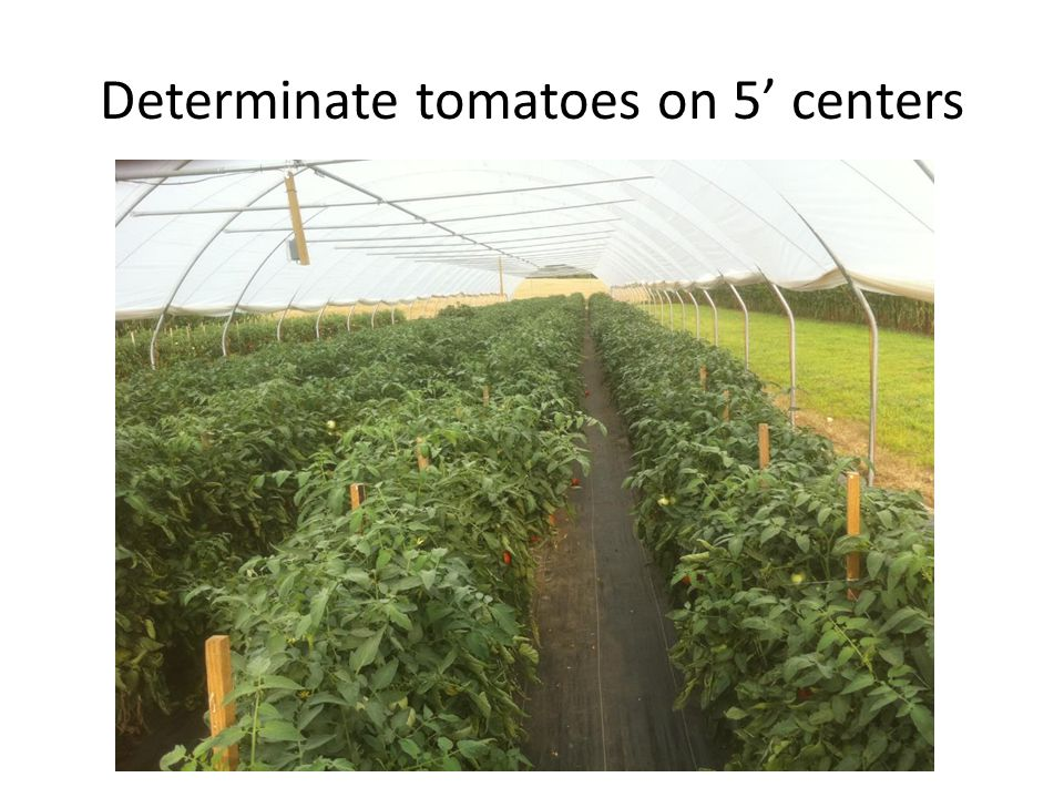 Determinate tomatoes on 5' centers