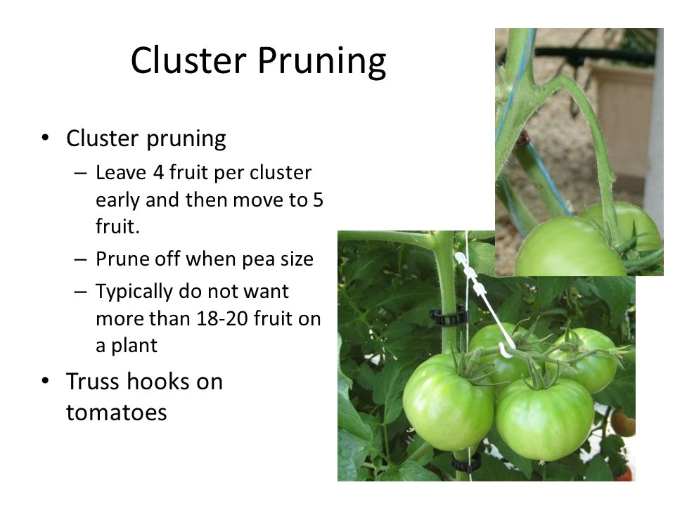 Cluster Pruning Cluster pruning – Leave 4 fruit per cluster early and then move to 5 fruit.