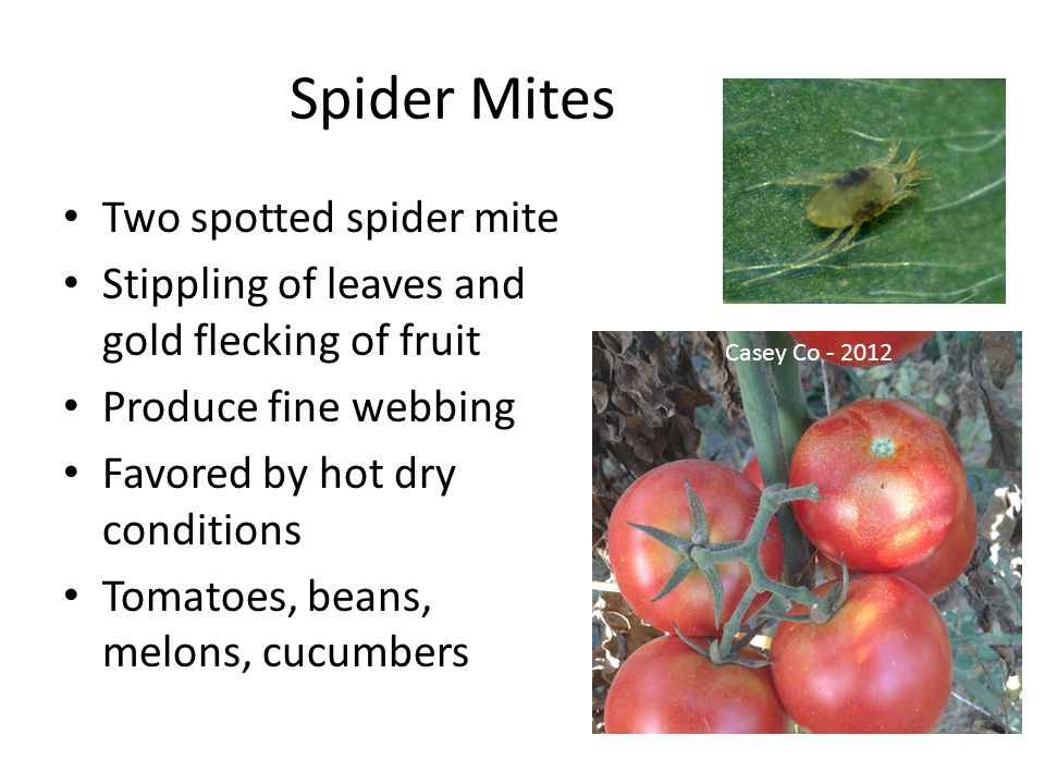 Spider Mites Two spotted spider mite Stippling of leaves and gold flecking of fruit Produce fine webbing Favored by hot dry conditions Tomatoes, beans, melons, cucumbers Casey Co - 2012