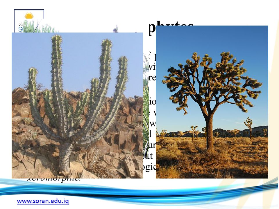 www.soran.edu.iq Xerophytes A xerophyte is a species of plant that has adapted to survive in an environment with little water, such as a desert or an ice- or snow-covered region in the Alps or the Arctic.