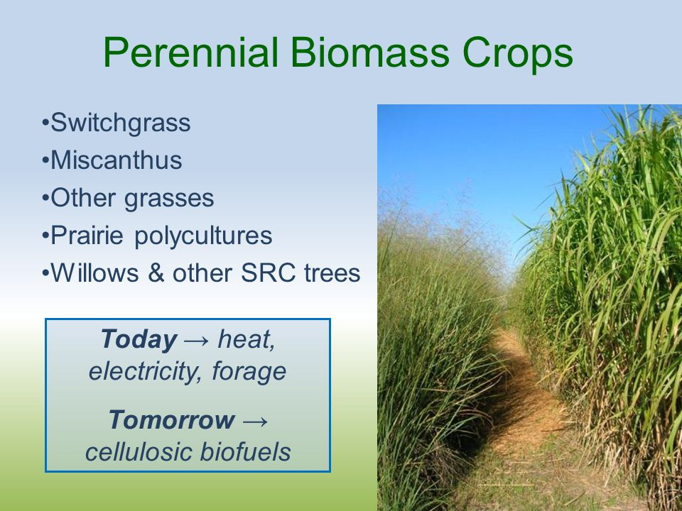 Perennial Biomass Crops Switchgrass Miscanthus Other grasses Prairie polycultures Willows & other SRC trees Today → heat, electricity, forage Tomorrow → cellulosic biofuels