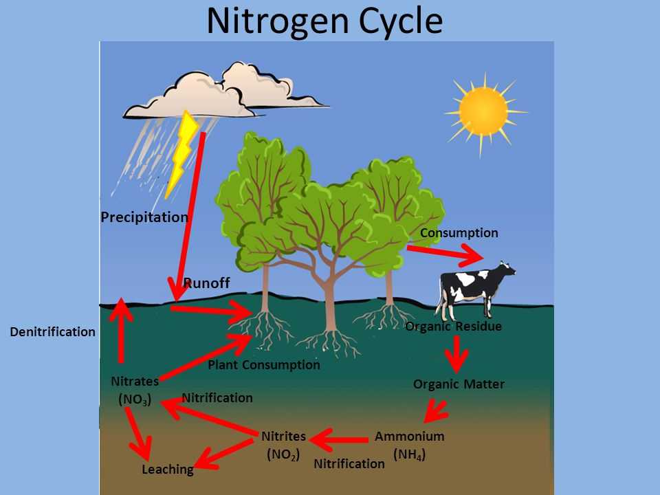 Nitrogen Cycle Precipitation Runoff Consumption Organic Residue Organic Matter Ammonium (NH 4 ) Nitrites (NO 2 ) Nitrification Nitrates (NO 3 ) Leaching Denitrification Plant Consumption