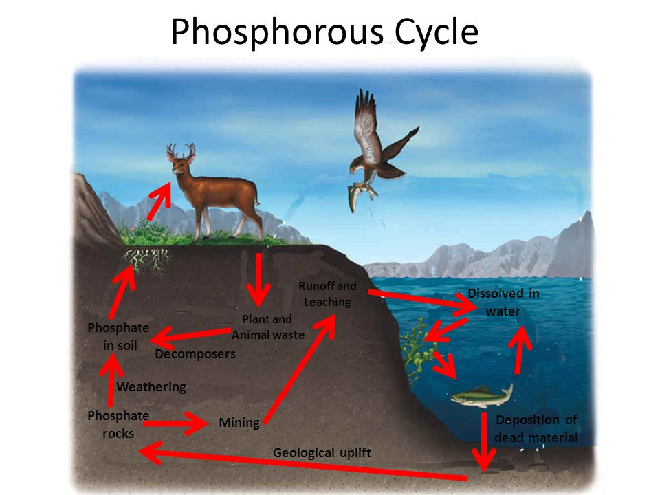 Phosphorous Cycle Phosphate rocks Phosphate in soil Weathering Plant and Animal waste Decomposers Mining Runoff and Leaching Dissolved in water Deposition of dead material Geological uplift