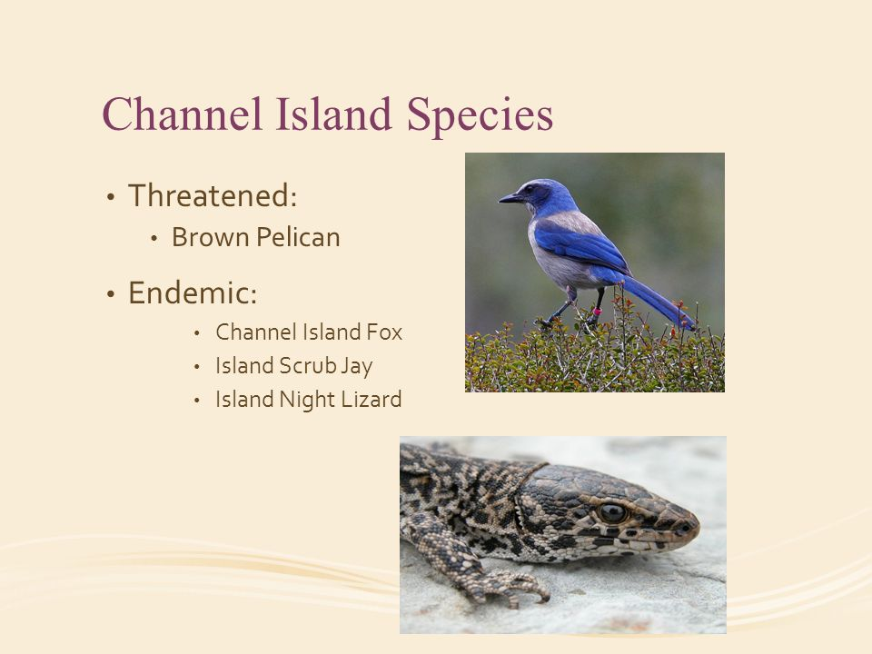 Channel Island Species Threatened: Brown Pelican Endemic: Channel Island Fox Island Scrub Jay Island Night Lizard