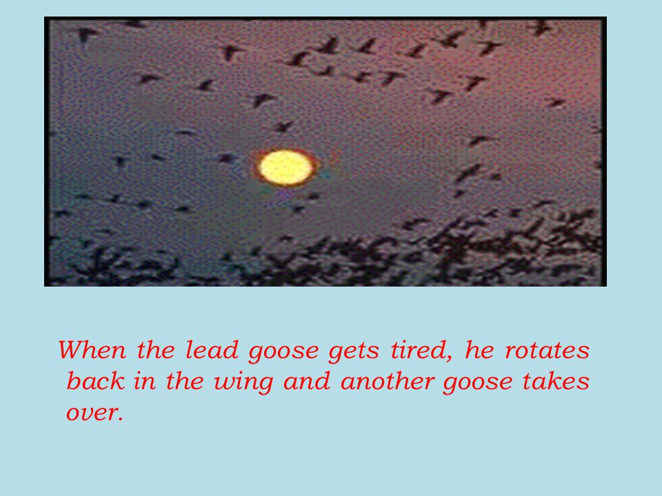 When the lead goose gets tired, he rotates back in the wing and another goose takes over.