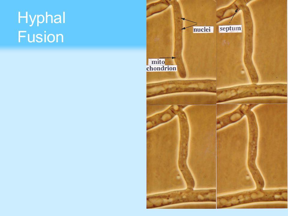 Hyphal Fusion