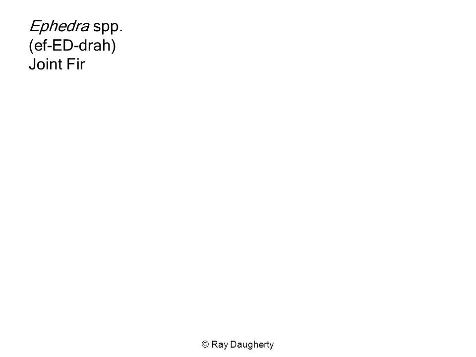 Ephedra spp. (ef-ED-drah) Joint Fir