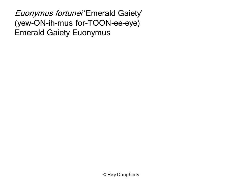 Euonymus fortunei 'Emerald Gaiety' (yew-ON-ih-mus for-TOON-ee-eye) Emerald Gaiety Euonymus