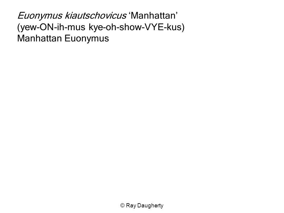 Euonymus kiautschovicus 'Manhattan' (yew-ON-ih-mus kye-oh-show-VYE-kus) Manhattan Euonymus