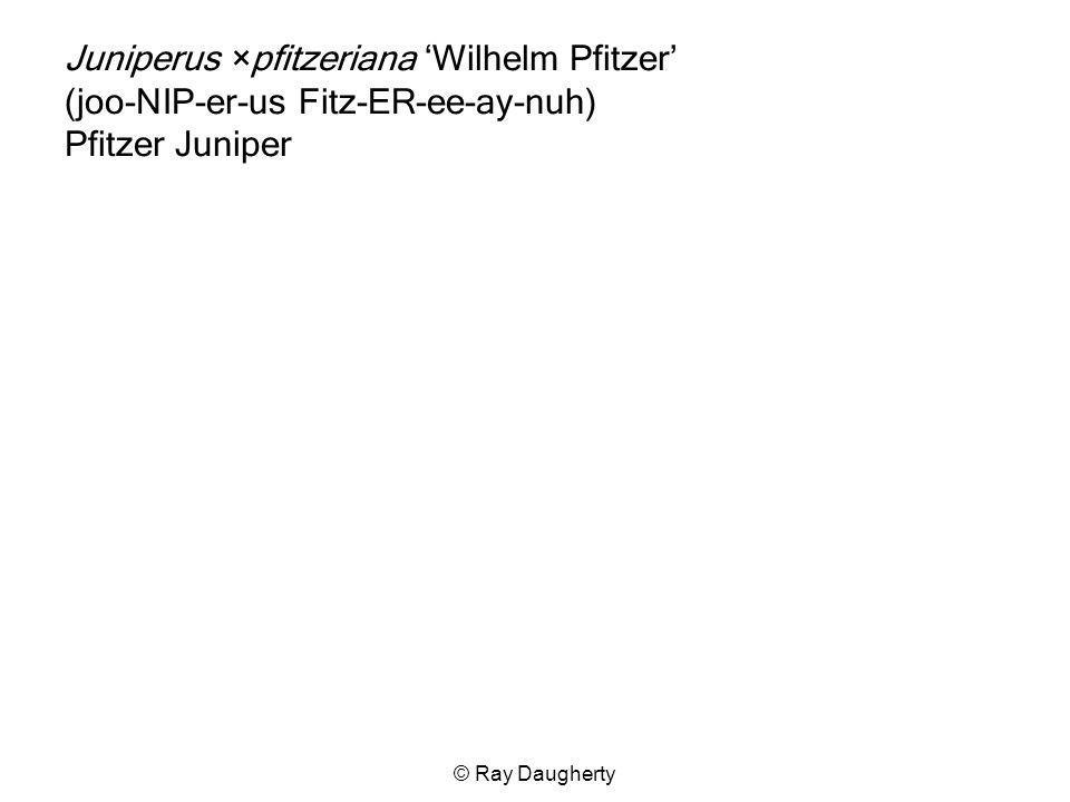 Juniperus ×pfitzeriana 'Wilhelm Pfitzer' (joo-NIP-er-us Fitz-ER-ee-ay-nuh) Pfitzer Juniper