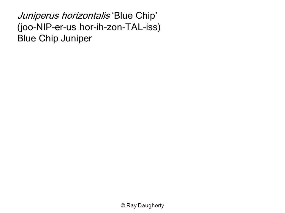 Juniperus horizontalis 'Blue Chip' (joo-NIP-er-us hor-ih-zon-TAL-iss) Blue Chip Juniper
