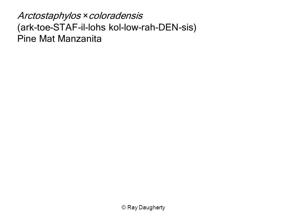 © Ray Daugherty Arctostaphylos ×coloradensis (ark-toe-STAF-il-lohs kol-low-rah-DEN-sis) Pine Mat Manzanita