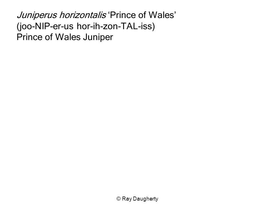 Juniperus horizontalis 'Prince of Wales' (joo-NIP-er-us hor-ih-zon-TAL-iss) Prince of Wales Juniper