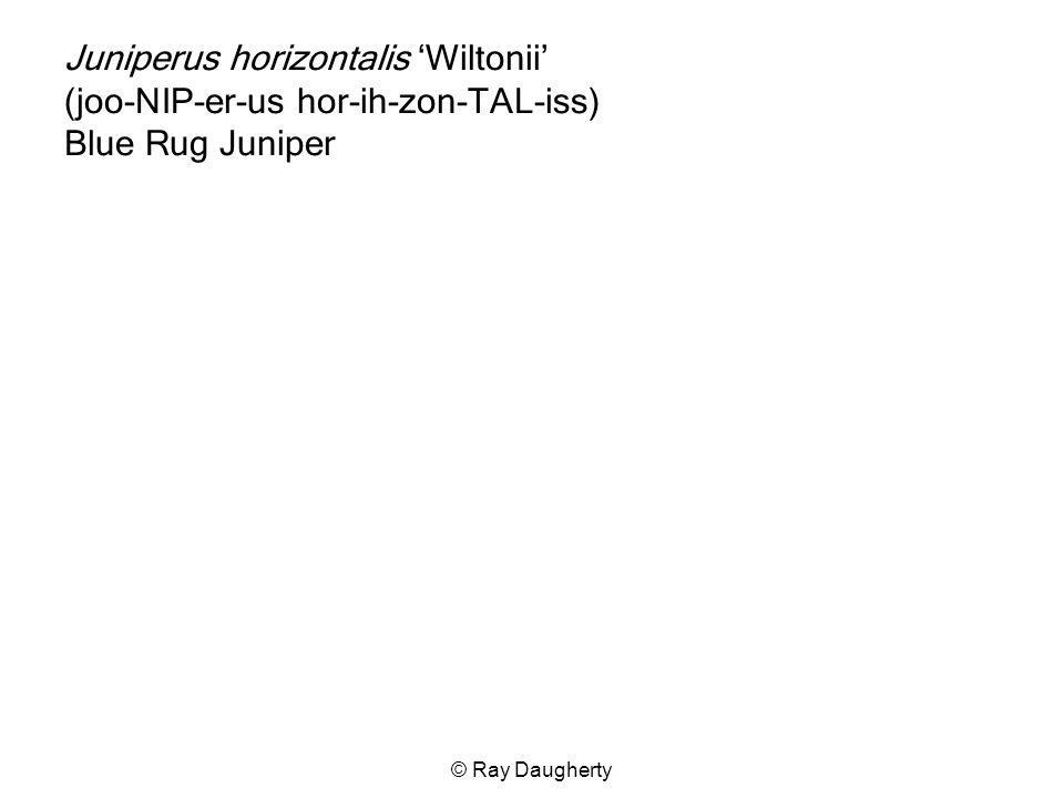 Juniperus horizontalis 'Wiltonii' (joo-NIP-er-us hor-ih-zon-TAL-iss) Blue Rug Juniper