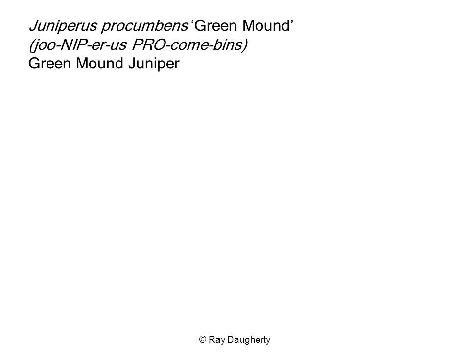 Juniperus procumbens 'Green Mound' (joo-NIP-er-us PRO-come-bins) Green Mound Juniper