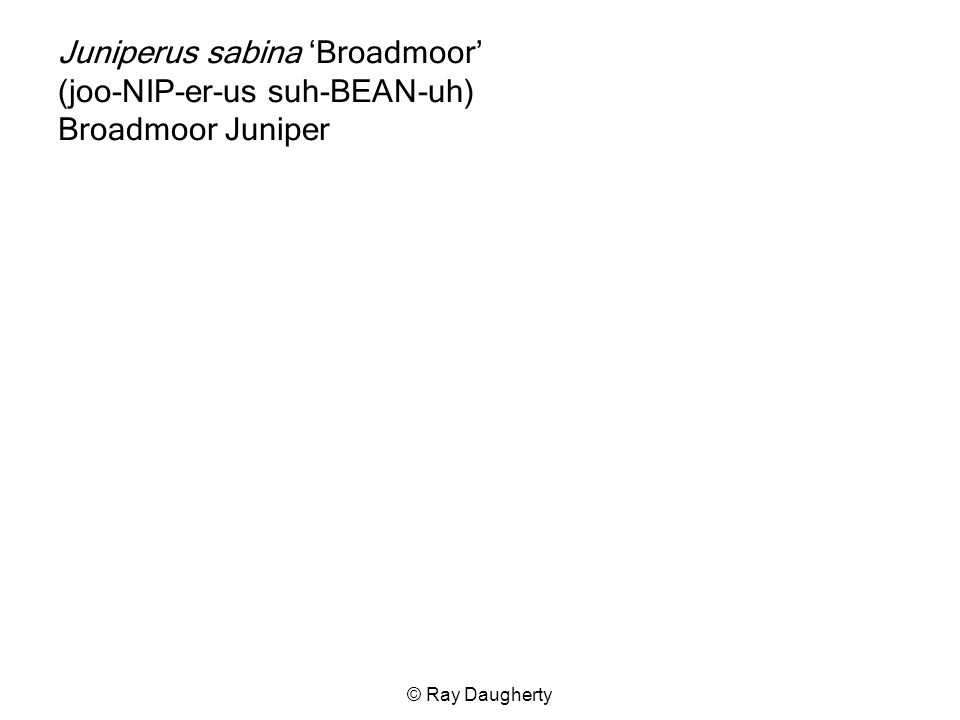 Juniperus sabina 'Broadmoor' (joo-NIP-er-us suh-BEAN-uh) Broadmoor Juniper