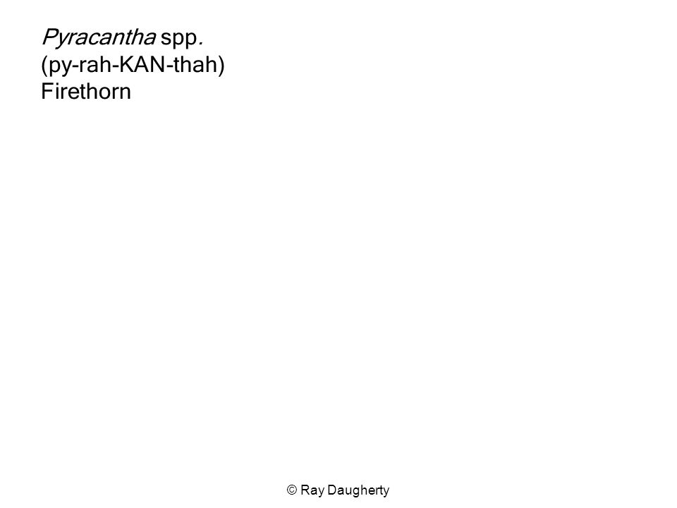 Pyracantha spp. (py-rah-KAN-thah) Firethorn