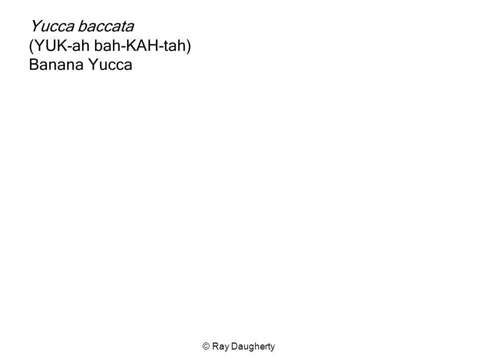 Yucca baccata (YUK-ah bah-KAH-tah) Banana Yucca