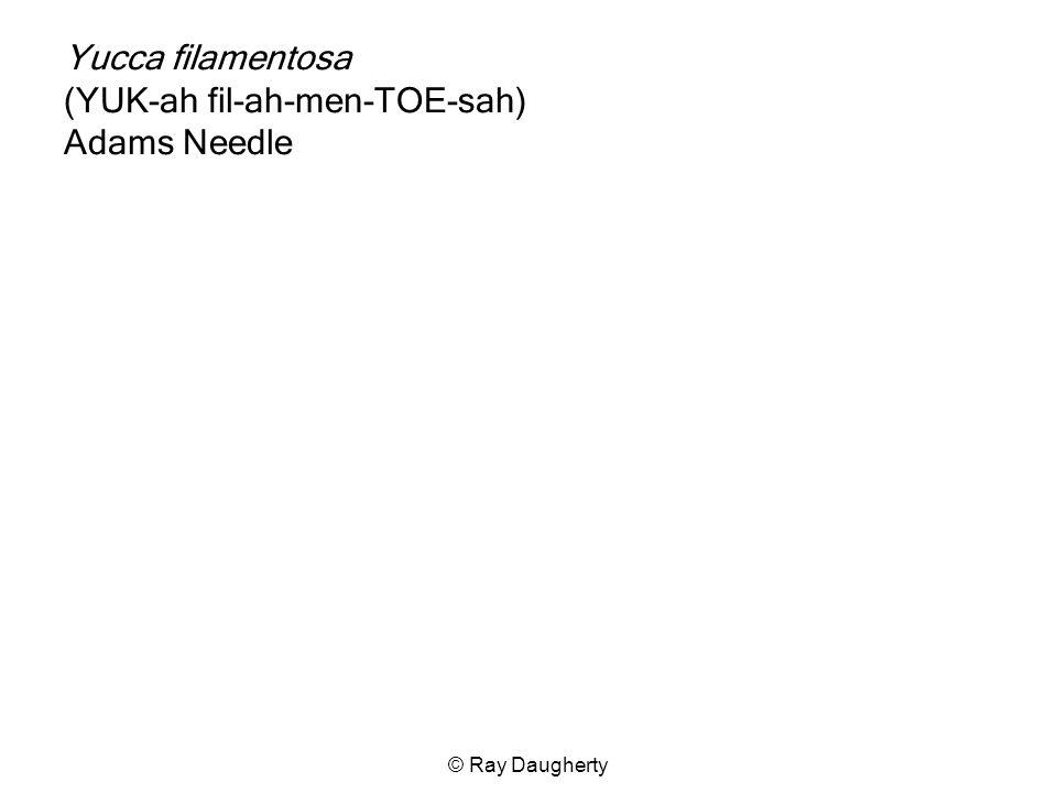 Yucca filamentosa (YUK-ah fil-ah-men-TOE-sah) Adams Needle