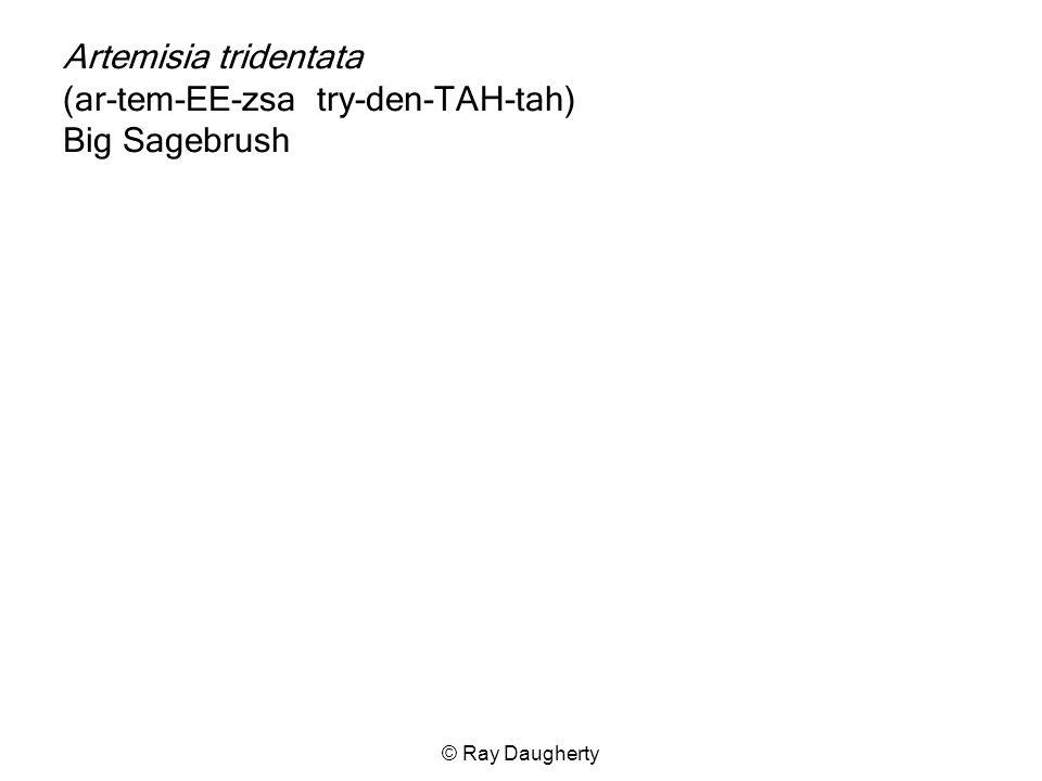 Artemisia tridentata (ar-tem-EE-zsa try-den-TAH-tah) Big Sagebrush