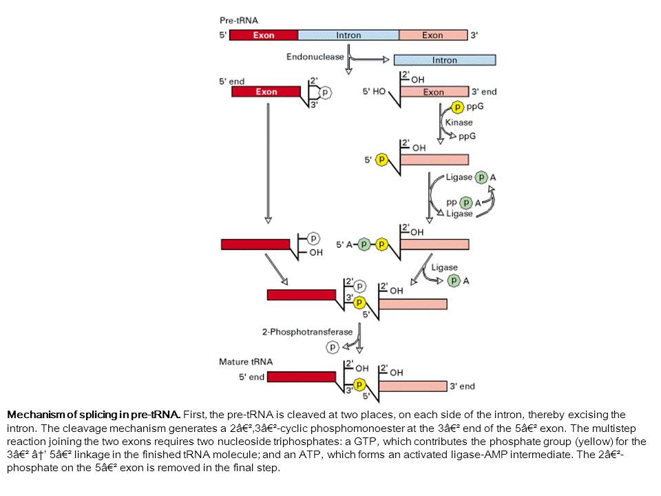 Mechanism of splicing in pre-tRNA.