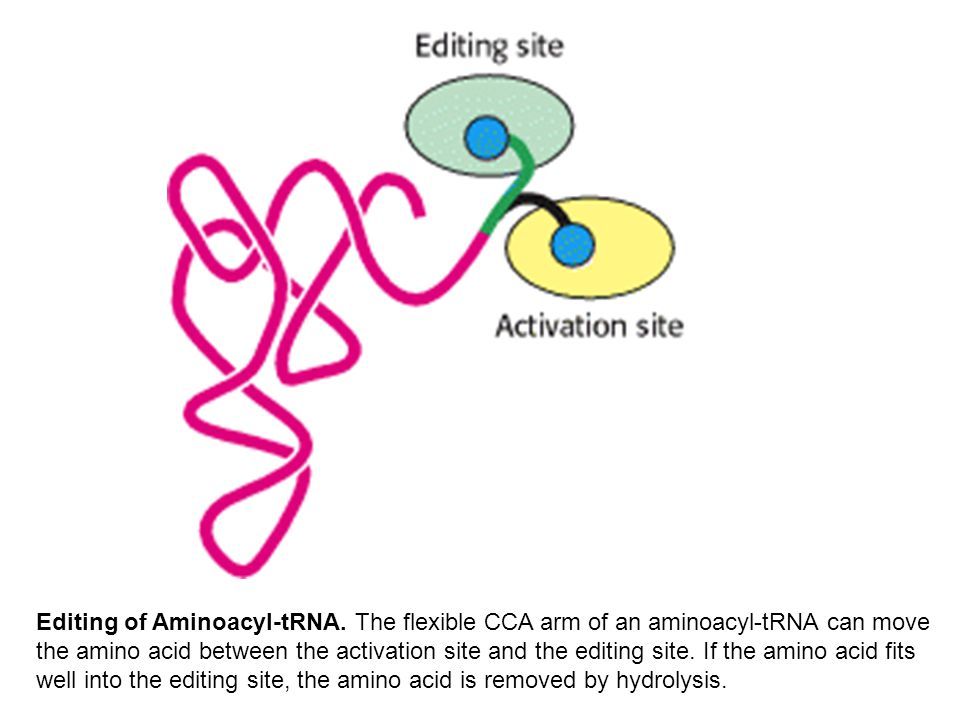 Editing of Aminoacyl-tRNA.