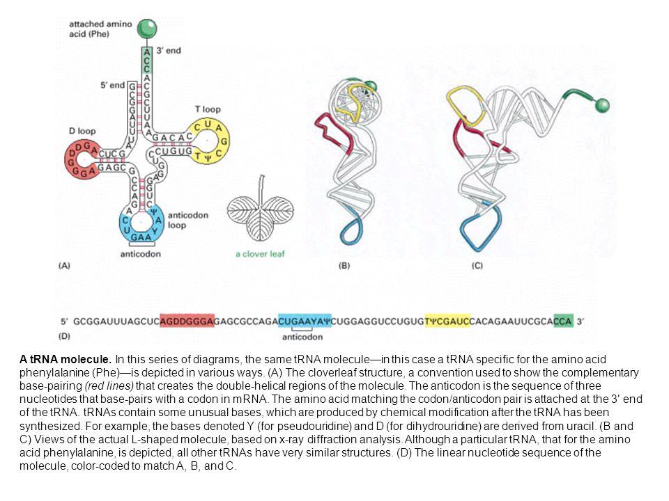 A tRNA molecule.