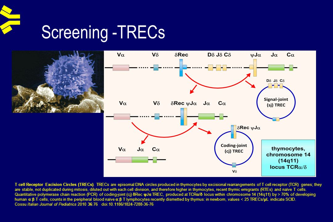 Screening -TRECs T cell Receptor Excision Circles (TRECs). TRECs are episomal DNA circles produced in thymocytes by excisional rearrangements of T cel