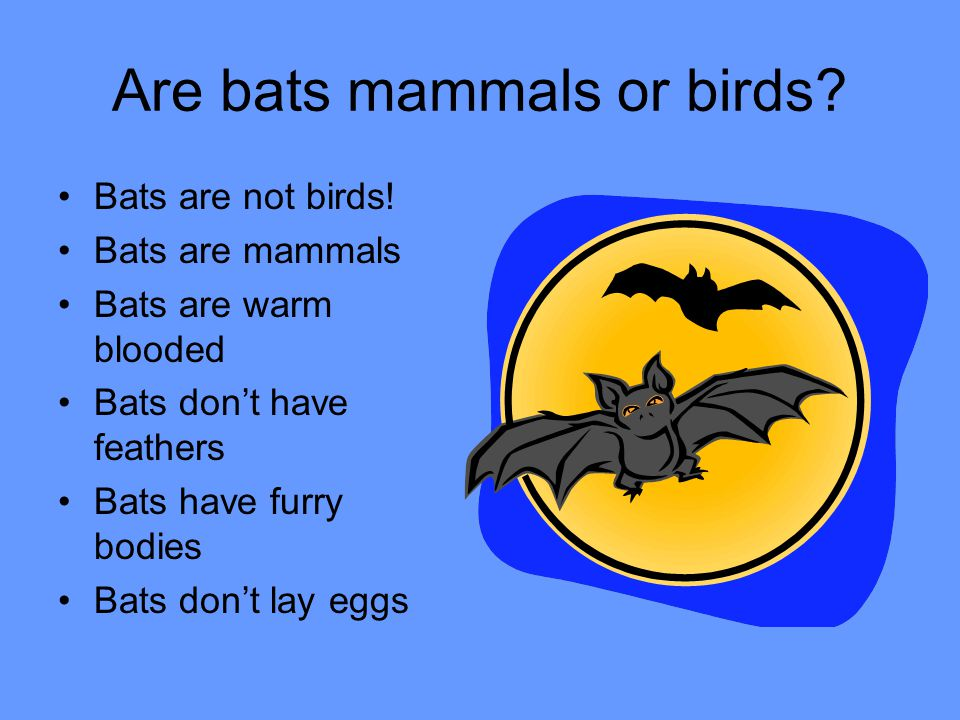All About Bats Mrs. Oberholtz's First Grade Class Mrs.