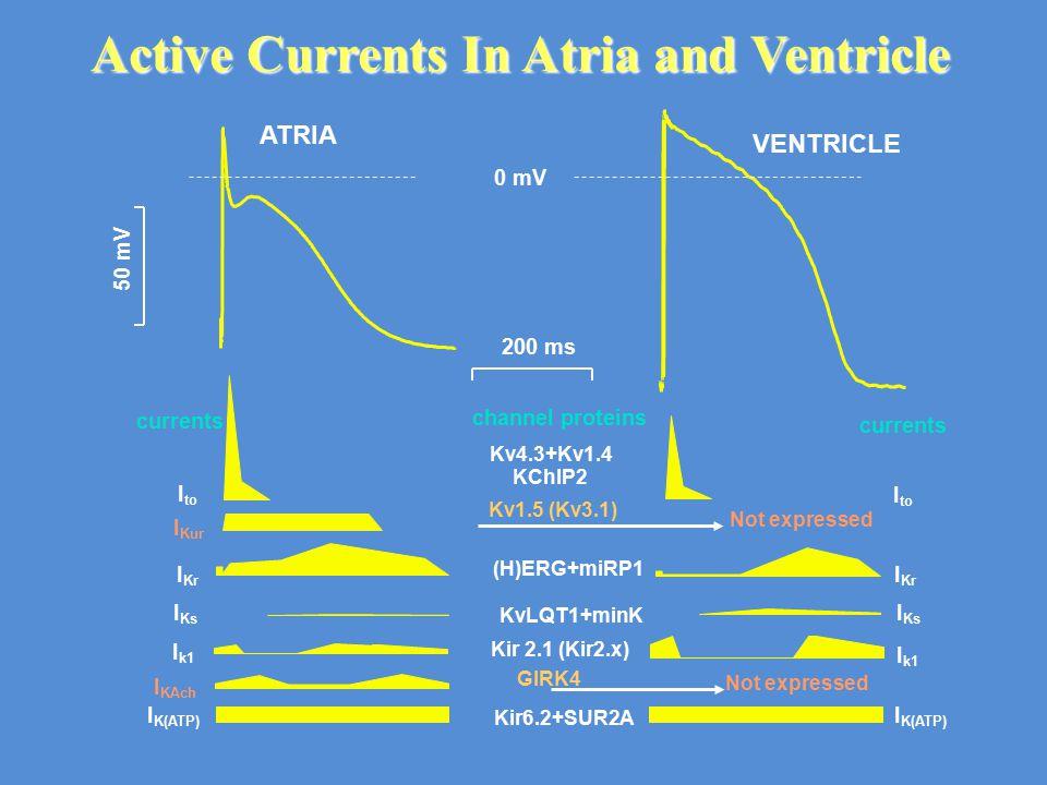 I k1 I to I Kr I Ks I K(ATP) I k1 I Kur I to I Kr I Ks I KAch I K(ATP) Kv4.3+Kv1.4 Kv1.5 (Kv3.1) (H)ERG+miRP1 KvLQT1+minK Kir 2.1 (Kir2.x) GIRK4 KChIP2 Kir6.2+SUR2A Not expressed channel proteins currents 200 ms 50 mV 0 mV ATRIA VENTRICLE Not expressed Active Currents In Atria and Ventricle