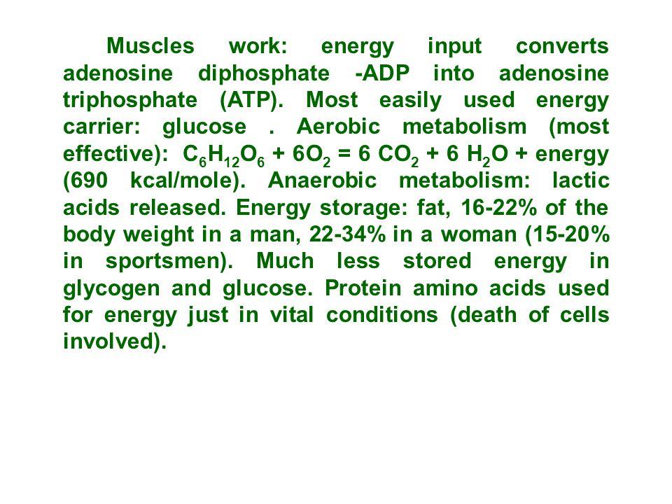 Muscles work: energy input converts adenosine diphosphate -ADP into adenosine triphosphate (ATP).