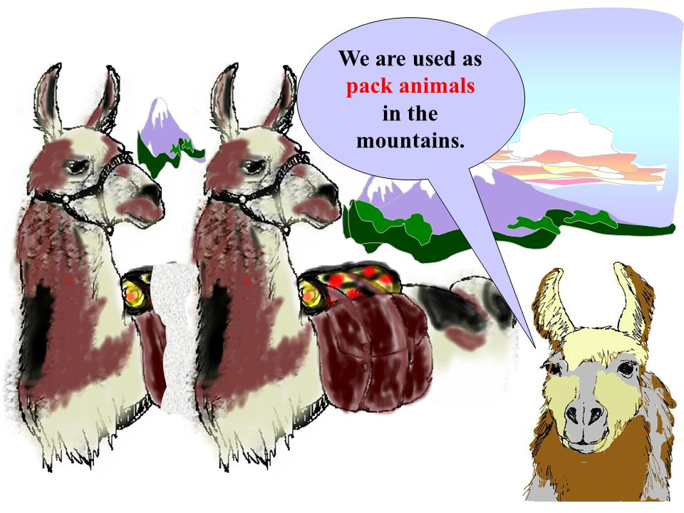 We are used as pack animals in the mountains.