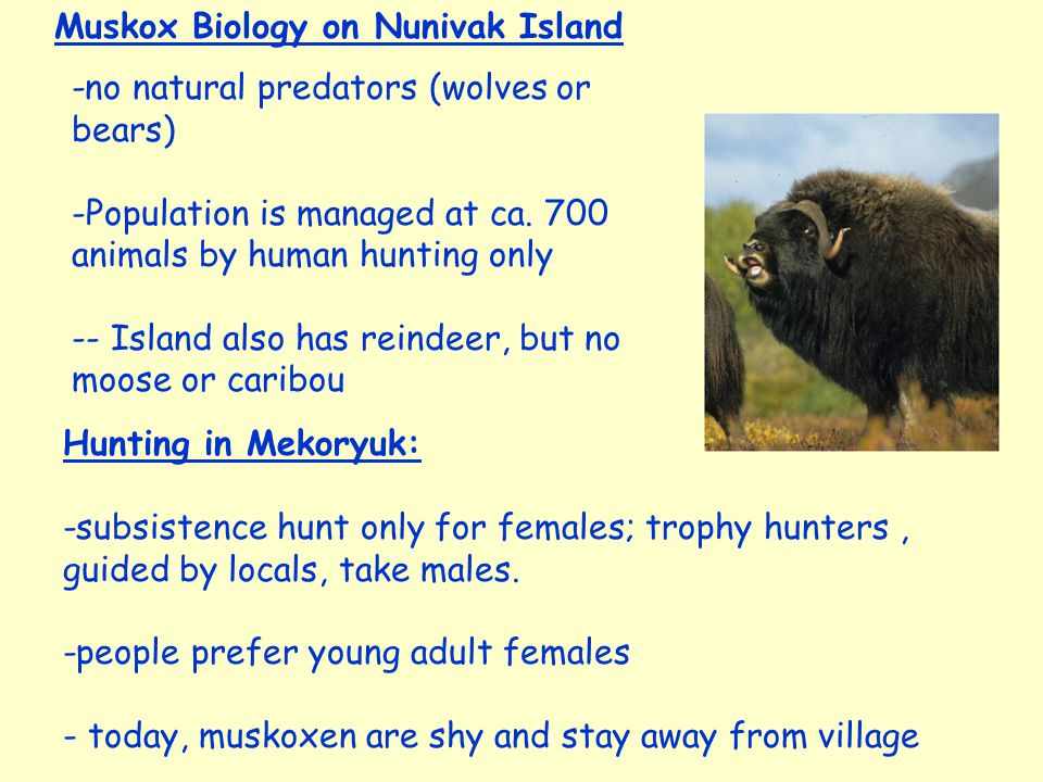 Hunting in Mekoryuk: -subsistence hunt only for females; trophy hunters, guided by locals, take males.